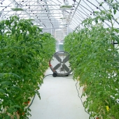 CHENA FRESH GREENHOUSE TOMATO FAN
