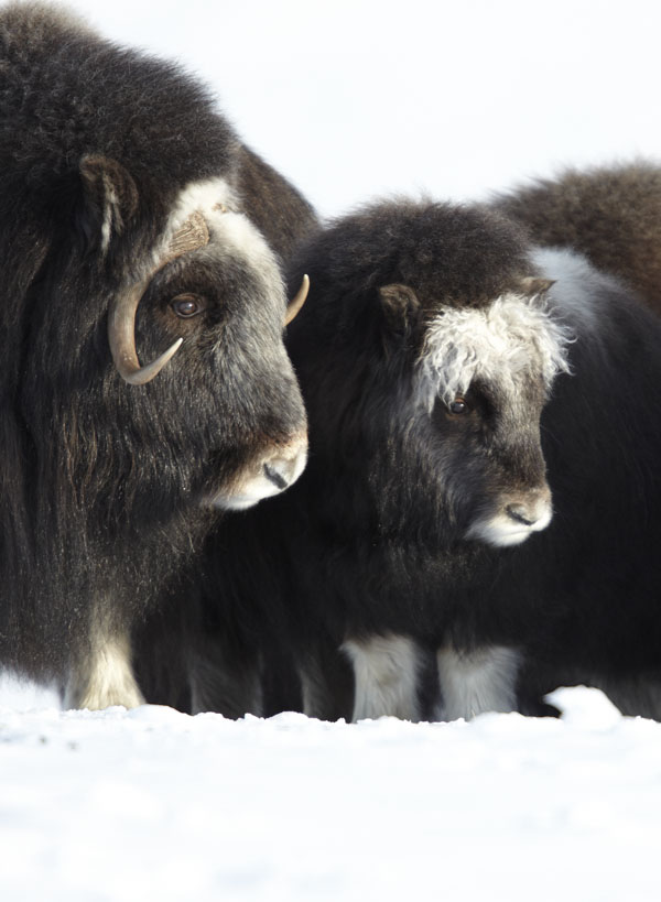 herd of wild musk ox near Nome Alaska
